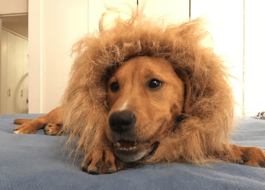 "I came home the other night and asked Brian, ""Hey, what was in that Amazon box that got delivered?"" Brian looks at me, absolutely BEAMING, as he proudly displays our puppy, wearing a lion suit."