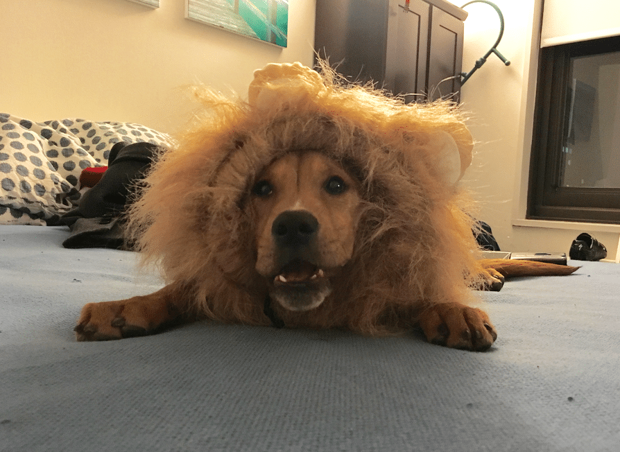 IT'S A LION SUIT!!!!!!!