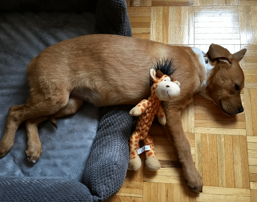 Sleeping with her giraffe! (Thanks Anne Marie, Gary, and Hannah!) And half on her bed...
